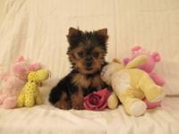 This precious little Yorkie Male would love to be your