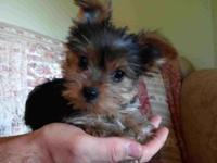 I have three adorable yorkie puppies that need new