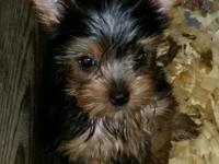 I have 4 precious Yorkie puppies 3 girls and 1 boy
