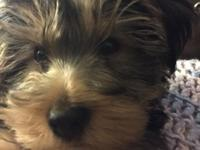 Adorable ACA Yorkshire Terrier very loving, loves to