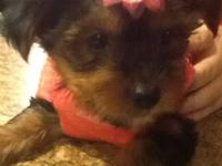 ACA registered Yorkshire Terrier. Gemma's first litter,