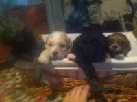 I have two male two female Shi Poo puppies in search of