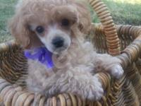 SunLite is a Beautiful Small Male AKC Toy Poodle