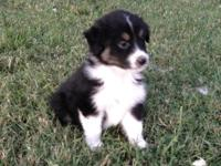 black tri male pup, mom is red merle blue eyes dad is