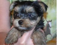We have cute AKC pureebred infant child yorkie for
