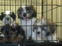 We have several adorable puppies for sale, all AKC