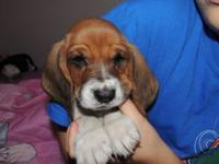AKC Basset Puppies were born Friday Sept 21, 2012. They