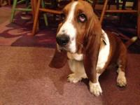 We have AKC registered Basset Hounds readily available