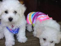 Our bichon had puppies for the second time. Sire and