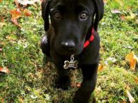 Black Labrador Retriever for Sale. He is AKC