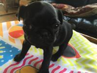 These adorable black pugs will be ready for their