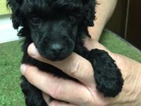 Beautiful AKC black male toy poodle puppies that were