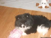 Beautiful little black and white parti female with a