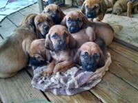 Bloodhound Puppies - 1 year health guarantee, Full AKC