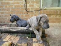 1 Blue Male. 1 Brindle male. 8 Blue females and brindle
