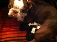 Gorgeous AKC Boston Terrier young puppies born in our