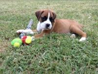 Adorable AKC registered boxer puppies born June 7 - 3