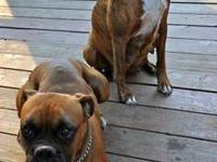 We have 5 adorable AKC registered boxer pups! 2 females