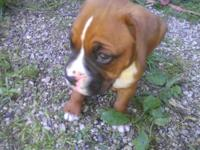 AKC Boxer puppy, originates from great bloodline. Fawn