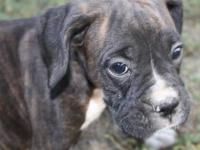 I have 6 boxer pups that are ready for their new homes.