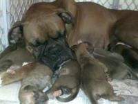 I have 9 beautiful boxer babies whelped on 7/7/13. They