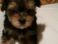 Adorable, loving, cuddly, and playful Morkie puppies