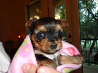 Gorgeous small baby girl yorkie female puppy, the