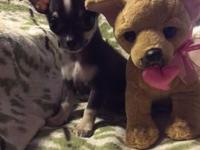 Beautiful AKC Chihuahua puppies. One male, black, tan