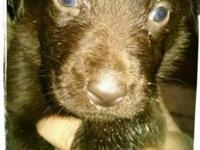 Gorgous AKC Choc and Black lab puppies! Dews, dewormed,