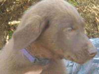Adorable AKC Chocolate Labrador Retriever puppy female.
