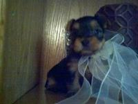 AKC/CKC Chocolate YORKIES, MALE AND FEMALE,