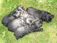 Beautiful Black AKC Cocker Spaniel puppies, male and