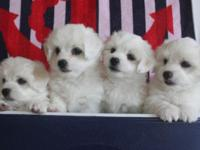 AKC Reg. Coton De' Tulear puppies for sale. 3 males and