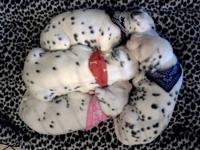 We are now taking deposits on our litter of Dalmatian