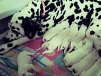 We have been blessed with 9 lovely Dalmatian new