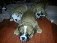 Adorable AKC English Bulldog Puppies! 3 males $1200 ea