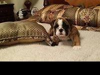 AKC English bulldog puppies: Champion bloodlines. We