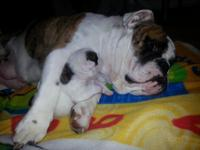 We have 7 hand raised bulldog young puppies trying to