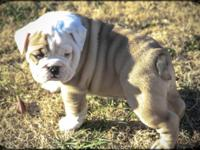 Two AKC English Bulldog young puppies for sale. One