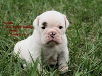 Adorable AKC English Bulldog Puppies For Sale 6 weeks
