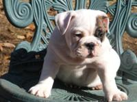 I have a beautiful ten week old AKC English puppy for