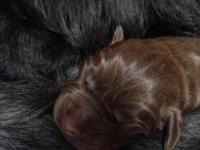We have a beautiful litter of AKC registered English