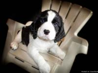 AKC English Springer Spaniels Wow! This is a gorgeous