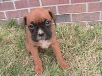 MACY IS AN ADORABLE FAWN FEMALE BOXER. SHE WAS BORN ON