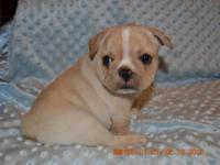 Adorable Cream and White French Bulldog Female Puppy.