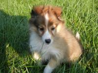 Beautiful and adorable AKC reg Sable & White female