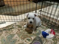 Adorable AKC female Westie (West Highland White