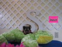 Adorable AKC registered female Yorkie with sweet little