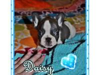 "Satisfy ""DAISY""... AKC pedigree French Bulldog,"