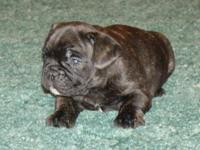 Adorable brindle male. Born 11/9/12. Largest puppy from